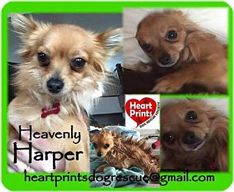 Chihuahua Mix Dog for adoption in Leduc, Alberta - Harper