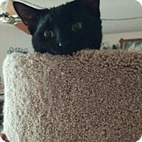 Domestic Shorthair Cat for adoption in Warren, Michigan - Lewis 2