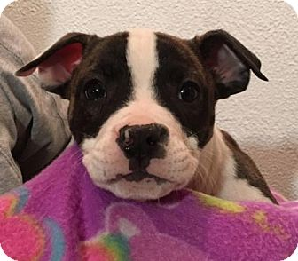 American Pit Bull Terrier/Pit Bull Terrier Mix Puppy for adoption in Clarkston, Michigan - Dora