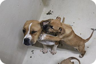 Pit Bull Terrier Mix Dog for adoption in Odessa, Texas - A29 Adele