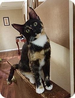 Domestic Shorthair Kitten for adoption in McKinney, Texas - Cookie