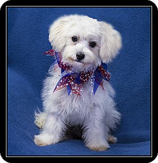 Maltese Mix Puppy for adoption in Ft. Bragg, California - Mariah