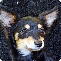 Adopt A Pet :: Buddy - Bridgeton, MO