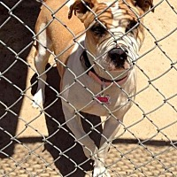 Pit Bull Terrier/Terrier (Unknown Type, Medium) Mix Dog for adoption in Fowler, California - Caia