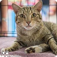 Adopt A Pet :: Murphy - Merrifield, VA