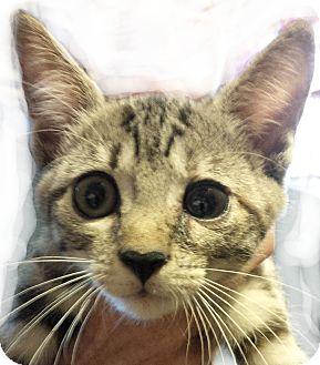 Domestic Shorthair Kitten for adoption in Seneca, South Carolina - Chloe