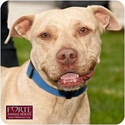 Photo 4 - American Staffordshire Terrier Mix Dog for adoption in Marina del Rey, California - Dior