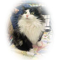Adopt A Pet :: Oreo - Olmsted Falls, OH
