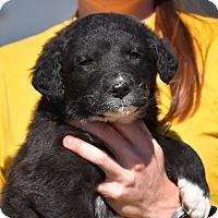 Adopt A Pet :: Favre - Charlemont, MA
