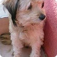 Adopt A Pet :: Oso-ADOPTION PENDING - Boulder, CO