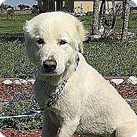 Adopt A Pet :: Marley - Kyle, TX