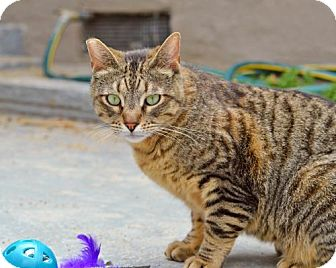Domestic Shorthair Cat for adoption in Santa Monica, California - Cruise