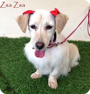 Dachshund Mix Dog for adoption in San Diego, California - Zsa Zsa
