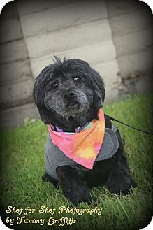 Cocker Spaniel/Poodle (Miniature) Mix Dog for adoption in Lodi, California - Bradley