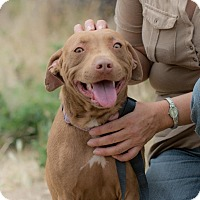 American Staffordshire Terrier/Bull Terrier Mix Dog for adoption in Pasadena, California - Sandy