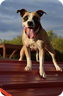 American Staffordshire Terrier/Staffordshire Bull Terrier Mix Dog for adoption in Phoenix, Arizona - Sparkle~ courtesy post
