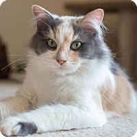 Domestic Longhair Cat for adoption in Charlotte, Michigan - Princess Amber