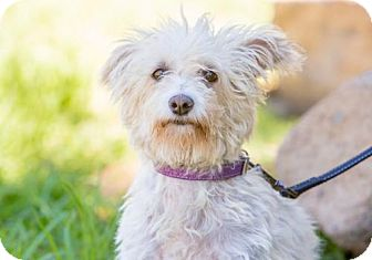 Westie, West Highland White Terrier/Poodle (Miniature) Mix Dog for adoption in San Diego, California - Binx