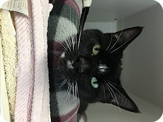 Domestic Shorthair Cat for adoption in Reisterstown, Maryland - Patchwork