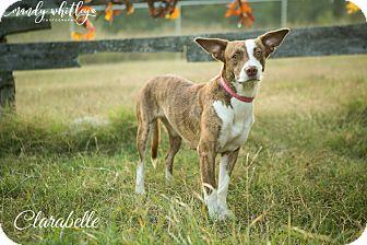 Australian Shepherd Mix Dog for adoption in Columbia, Tennessee - Clarabelle