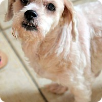Terrier (Unknown Type, Small) Mix Dog for adoption in Ft. Lauderdale, Florida - Niki
