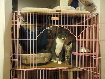Domestic Shorthair Kitten for adoption in Dale City, Virginia - Katie