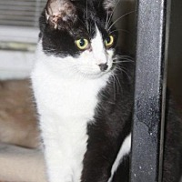 Domestic Shorthair Cat for adoption in New Bern, North Carolina - Ariel