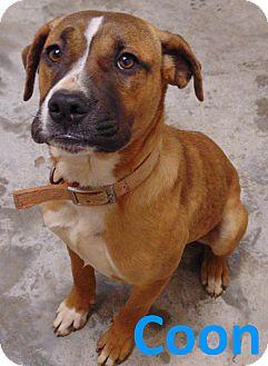 Bulldog/Labrador Retriever Mix Dog for adoption in Mountain View, Arkansas - Coon
