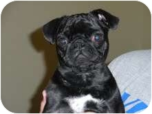 Pug Puppy for adoption in Eagle, Idaho - Gabby