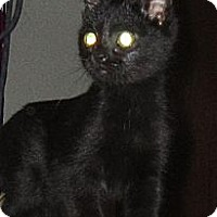 Bombay Cat for adoption in Peralta, New Mexico - **SPROCKET
