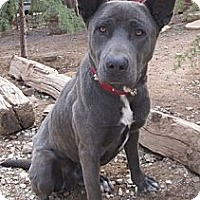 Shepherd (Unknown Type) Mix Dog for adoption in Toluca Lake, California - Alexander Blue Boy