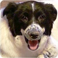 Adopt A Pet :: Ollie - Gilbert, AZ