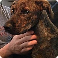 Adopt A Pet :: Macie - Woodbridge, CT