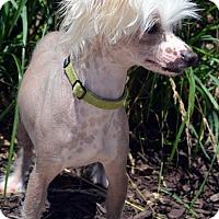 Adopt A Pet :: Major-Adoption pending - Bridgeton, MO