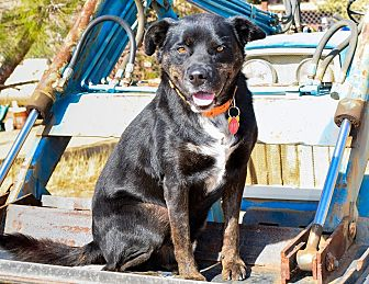 Labrador Retriever Mix Dog for adoption in Acton, California - Magic