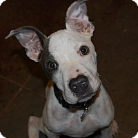 Adopt A Pet :: STERLING - CHICAGO, IL