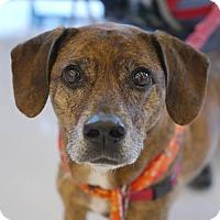 Adopt A Pet :: Truman **Adoption Pending** - Fairfax, VA