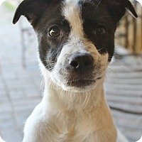 Adopt A Pet :: Addie - Rockwall, TX