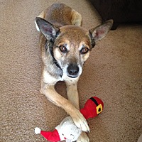 Terrier (Unknown Type, Small)/Shepherd (Unknown Type) Mix Dog for adoption in Phoenix, Arizona - Wolfie