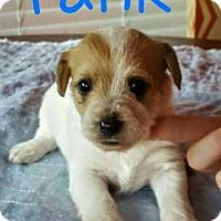 Adopt A Pet :: Penny pup6 - Tank - Houston, TX