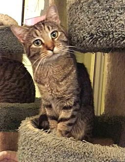 American Shorthair Cat for adoption in Chino Hills, California - Timmy