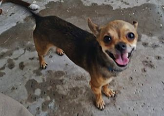 Chihuahua Mix Dog for adoption in Phoenix, Arizona - Ricky