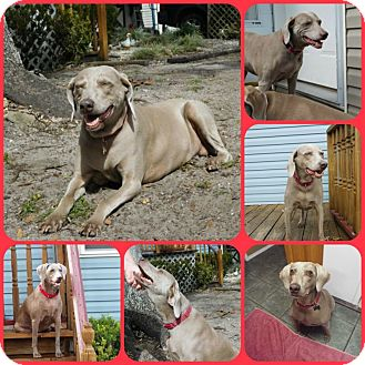 Weimaraner Dog for adoption in Davenport, Florida - Hope