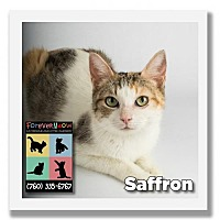 Domestic Shorthair Cat for adoption in Palm Desert, California - Saffron