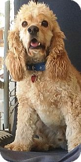 Cocker Spaniel Dog for adoption in Santa Barbara, California - Sandy