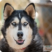 Siberian Husky Dog for adoption in Cedar Crest, New Mexico - Joy