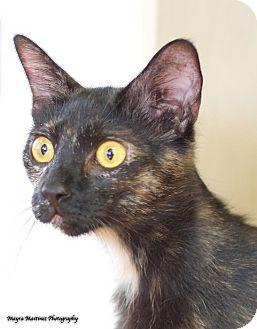 Domestic Shorthair Cat for adoption in Homewood, Alabama - Galaxy