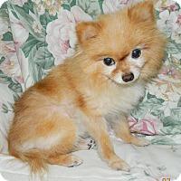 Adopt A Pet :: Portia - Umatilla, FL