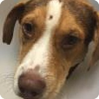 Hound (Unknown Type) Mix Dog for adoption in Columbus, Georgia - Harrison 7185