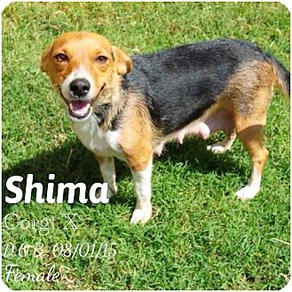 Corgi Mix Dog for adoption in DeForest, Wisconsin - Shima